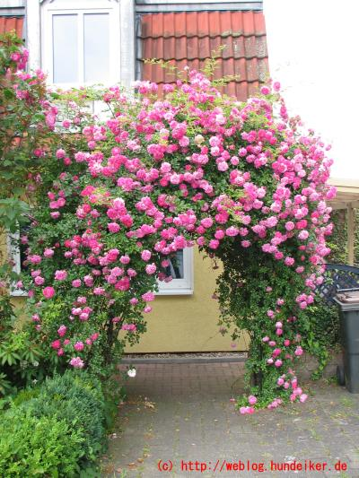 unser Rosenbogen wuchert