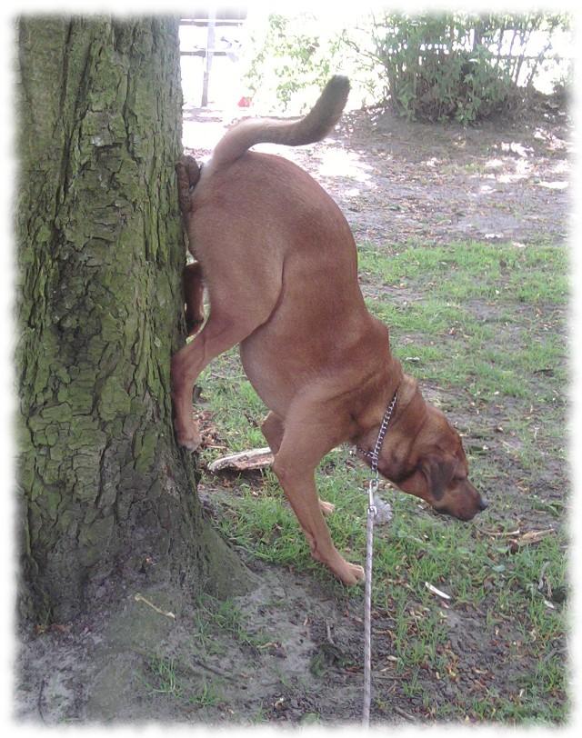 Hund Bruno kackt den Baumstamm hinauf.