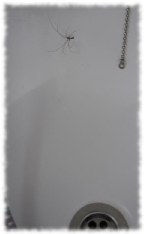 Spinne am Abfluß.
