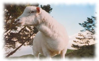 Scheinbar harmloses Schaf.