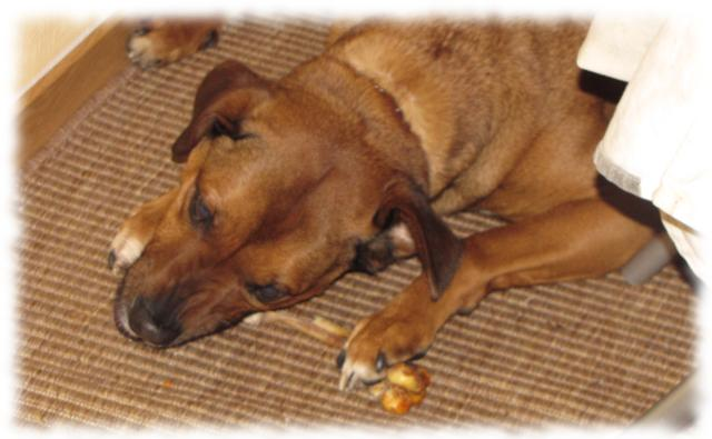 Hund Bruno frißt Rehknochen.