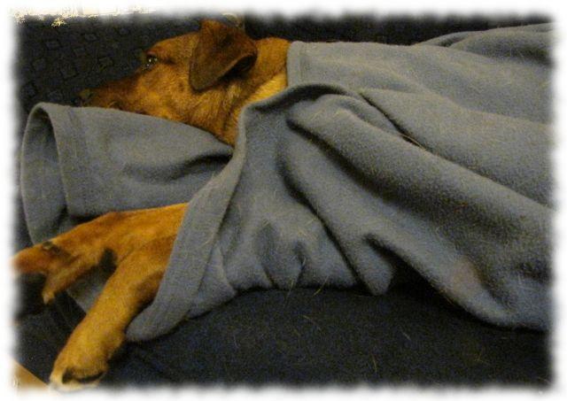 Teilzeithund Bruno, eingekuschelt in eine Decke.