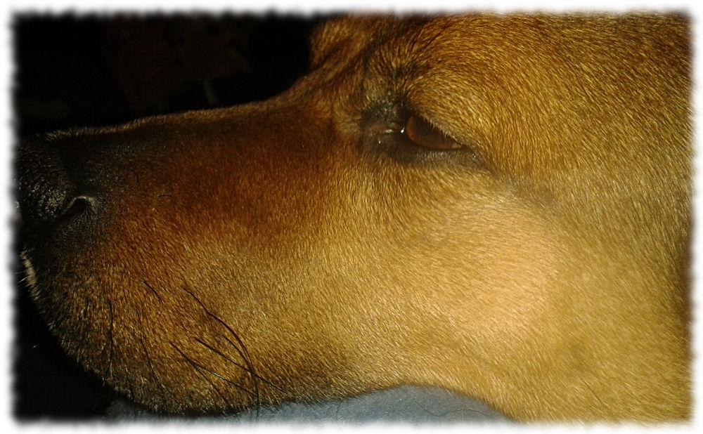Hund Bruno guckt müde.