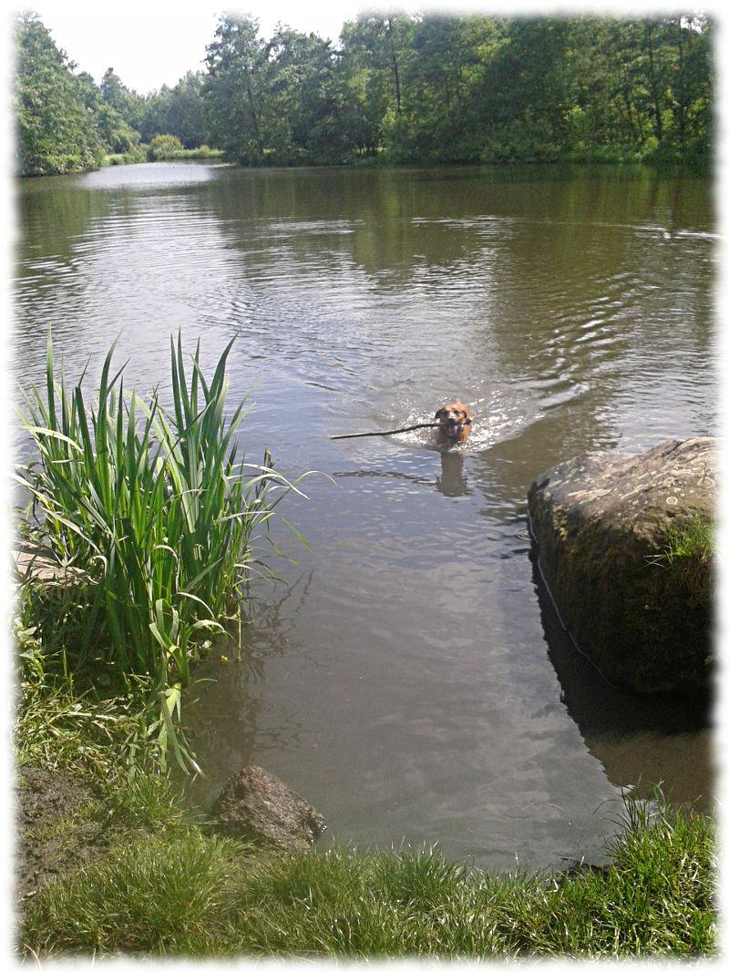 Bruno schwimmt mit dem Stock Richtug Seeufer auf mich zu.