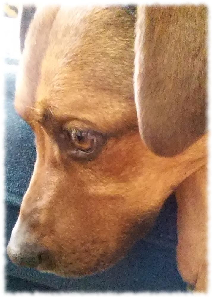 Kranker Hund guckt traurig.