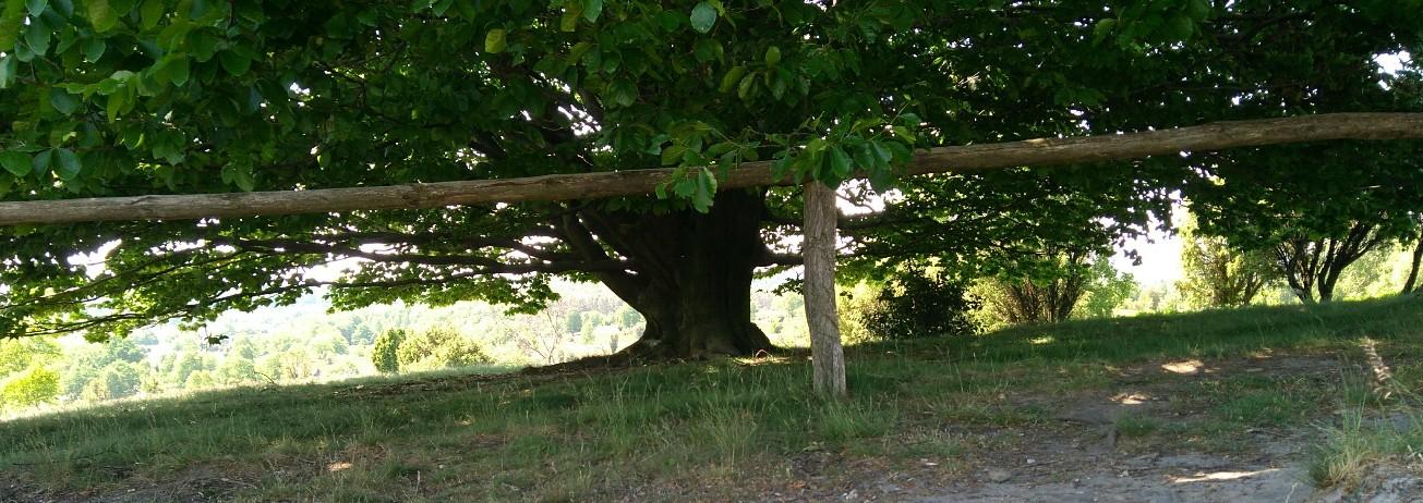 mächtiger Baum mit Horizont auf dem Wilseder Berg (Lüneburger Heide)